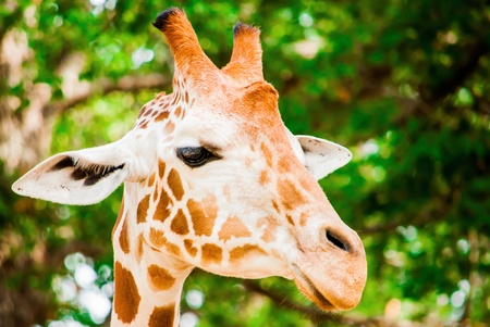 A cute giraffe, Fossil Rim Wildlife Center, Glen Rose, Texas, USA Stock Photo - 20700955