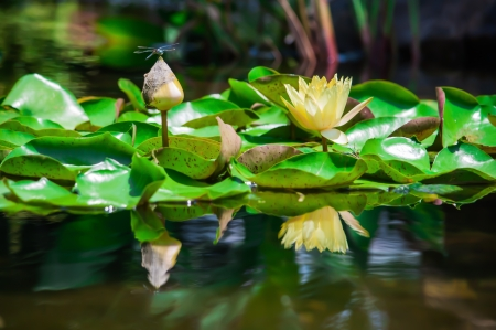reflects: Yellow water lilies reflects in the pond Stock Photo