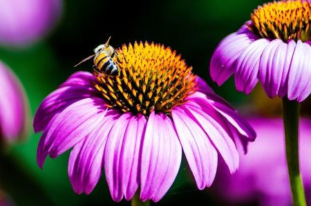 Pink Coneflower  Echinacea  and bee, Dallas Arboretum, Texas, USA photo