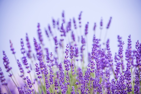 bush to grow up: Lavender flowers blooming in field in Lawrence, Kansas, USA