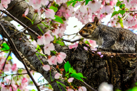 Squirrel in cherry peak bloom photo