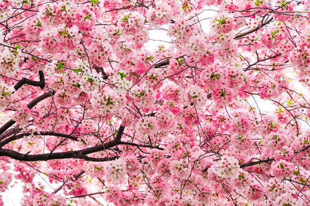 Cherry blossoms in Spring, Washington DC, USA photo