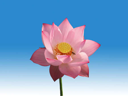 Pink lotus flower isolated on blue and white background  photo