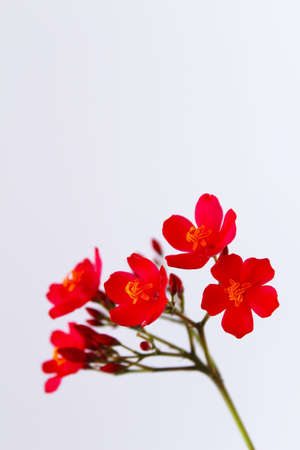 red flowers isolated on white background photo