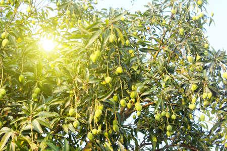 mango on the tree Stockfoto