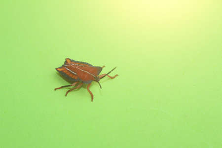 stink: qrage Marmorated Stink Bug Stock Photo