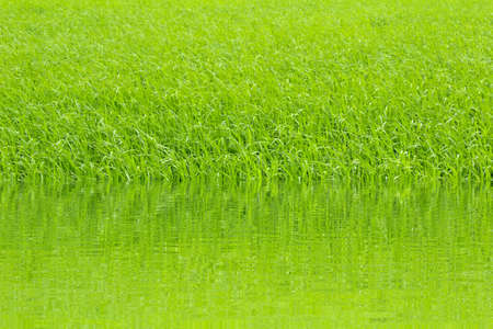 paddy rice in field photo