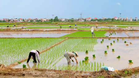 Farmers grown rice in the field in Hai Duong, Vietnam Stock Photo