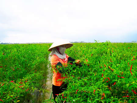 HAI DUONG, VIETNAM, July 12: Vietnamese woman farmer picking chili on the field on July 12, 2013 in Hai Duong, Red River Delta, Vietnam. After harvesting chili will sell at the market to shop for food