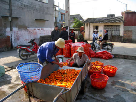 september 2: HAI DUONG, VIETNAM, September, 2: Farmers washing and classification carrot after harvest on September, 2, 2013 in Hai Duong, Vietnam.