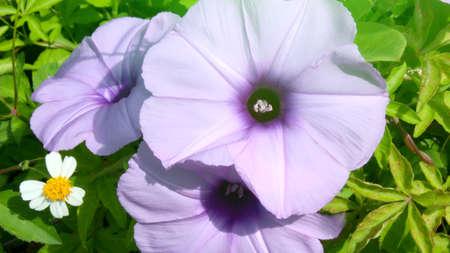 convolvulus: convolvulus flowers