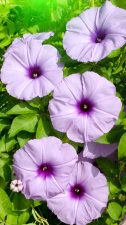 convolvulus flowers photo