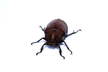 geotrupes: Beetle Stock Photo