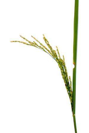 rice ears Foto de archivo