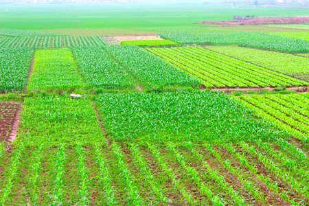 field of vegetables Stockfoto
