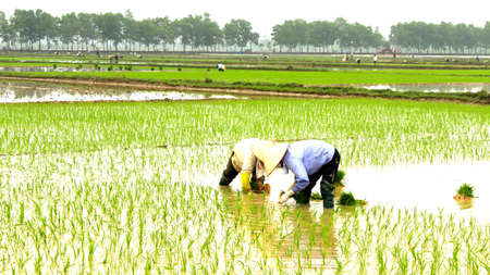 farmer planting rice in the field Stock Photo