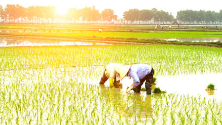 farmer planting rice in the field photo