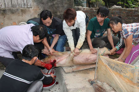 celebratation: HAI DUONG, VIETNAM, JULY, 4: Asian group killed pig for food on july, 2014 in Hai Duong, Vietnam.