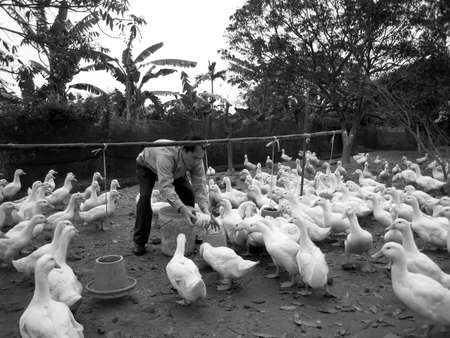 HAI DUONG, VIETNAM, JULY, 30: Vietnamese farmer to feed duck by rice on july, 30 2013 in Hai Duong, Red River Delta, Vietnam.