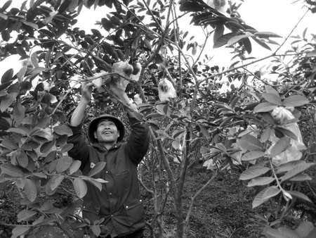 look after: HAI DUONG, VIETNAM, JULY, 20: Vietnamese farmer look after the trees in the garden on july, 20 2013 in Hai Duong Red River Delta, Vietnam.  Editorial