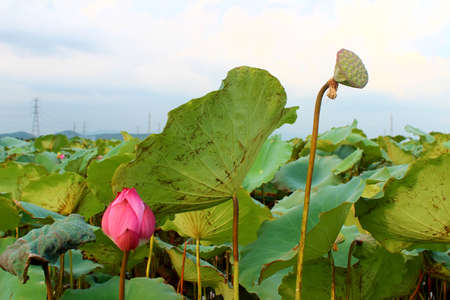 seedpod: the lotus in the pond