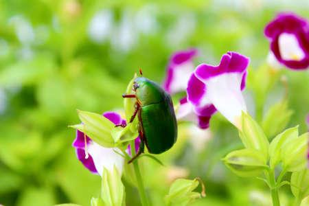 green beetle sitting on purple flower