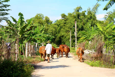 HAI DUONG, VIETNAM, AUGUST, 20: man and cows on the road on August, 20, 2014 in Hai Duong, Vietnam.