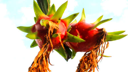 dragon fruit and the sky photo