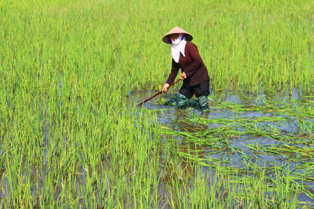 HAI DUONG, VIETNAM, AUGUST, 25: peasant woman cutting rice in the field on August, 25, 2014 in Hai Duong, Vietnam. rice is the main income in rural vieetjnam, about 800 USD
