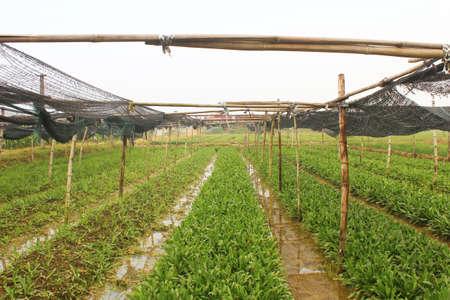 aromatický: aromatické zelenina