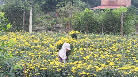 adult vietnam: Haiduong, Vietnam, march, 23: people Harvest flowers on field on march, 23, 2014 in Hai Duong, Vietnam