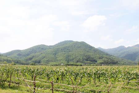 corn stalks: cornfields and mountains Stock Photo