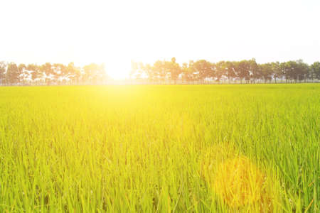 golden rice field and sky Foto de archivo