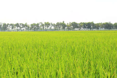 golden rice field and sky Stock Photo