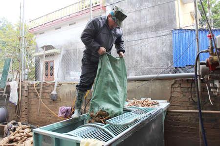 Haiduong, Vietnam, February, 10: people processing Kudzu flour on February, 10, 2015 in Hai Duong, Vietnam