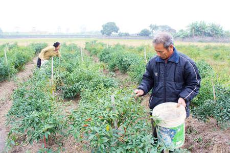 Haiduong, Vietnam, December, 12: Farmers harvested chili on fields on December, 12, 2013 in Hai Duong, Vietnam