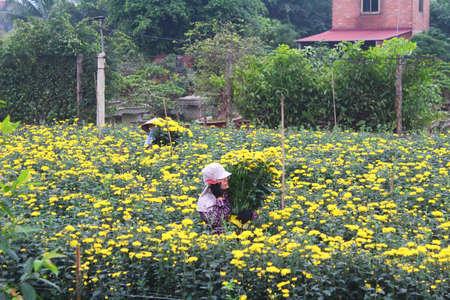 Haiduong, Vietnam, march, 23: people Harvest flowers on field on march, 23, 2014 in Hai Duong, Vietnam