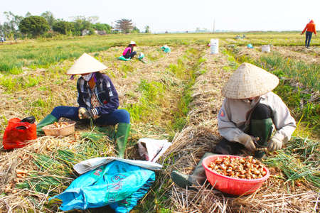 HAI DUONG, VIETNAM, JANUARY, 2: Farmers harvest onion on the field on January, 2, 2015 in Hai Duong, Vietnam