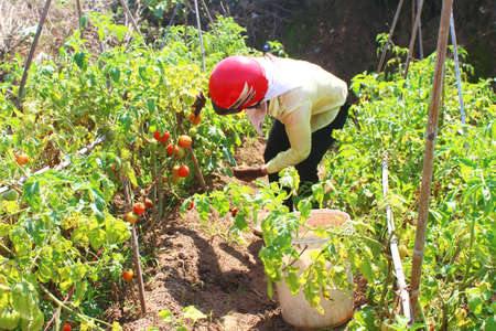 Farmer picking ripe tomato in vegetable garden
