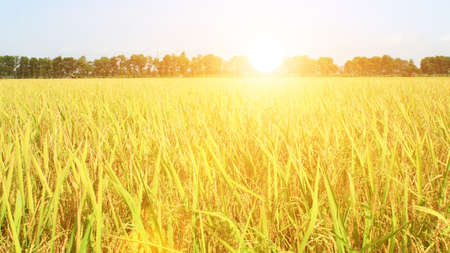 the golden rice field and sky Stockfoto