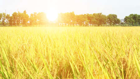 golden rice field and sky Stockfoto
