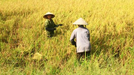 Haiduong, Vietnam, june, 8, 2015: Farmers harvest rice in a field
