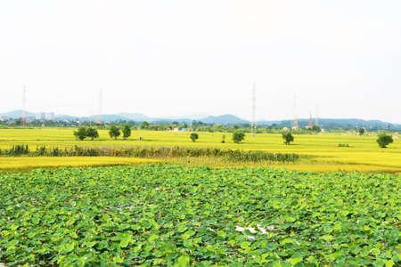 golden rice field and sky Stok Fotoğraf