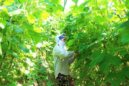 HAI DUONG, VIETNAM, APRIL, 14: woman picking peas in the garden on April, 14, 2015 in Hai Duong, Vietnam.