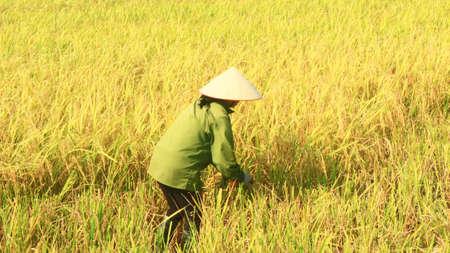 Haiduong, Vietnam, june 8, 2015: Farmers harvest rice in a field Redactioneel
