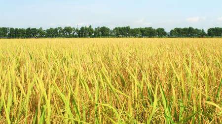 the golden rice field and sky Foto de archivo