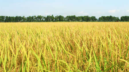 the golden rice field and sky Stock Photo
