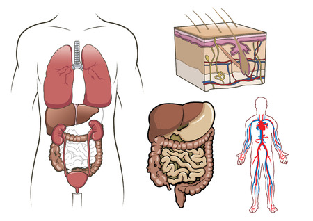 human internal organ: Human anatomy, health, circulatory and cardiology Illustration