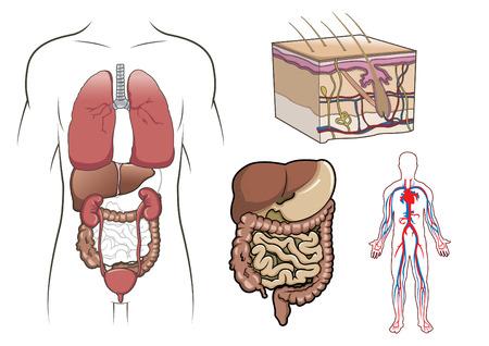 human body parts: Human anatomy, health, circulatory and cardiology Illustration