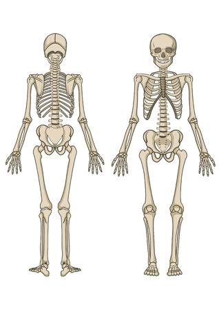 Human skeleton, bone, anatomy, biology and skull Vector